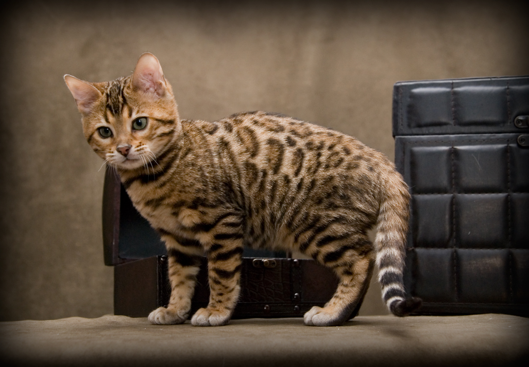 Le chat bengal alpharococo - Chat type leopard ...