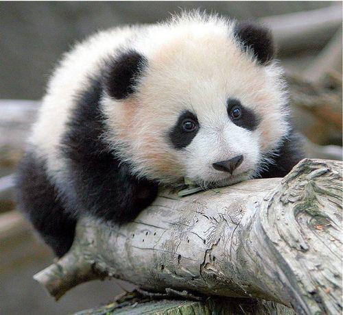 """Résultat de recherche d'images pour """"petit panda"""""""